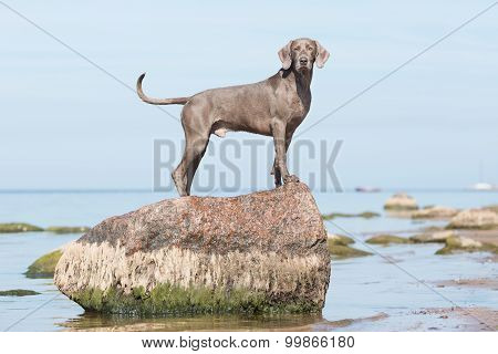 weimaraner dog on the beach