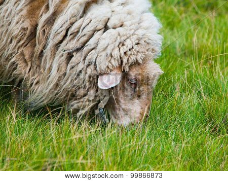 Detailed view of grazing sheep