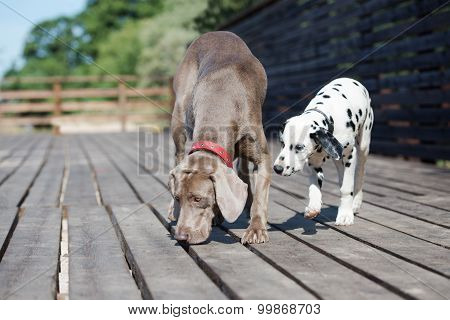 weimaraner dog with a dalmatian puppy