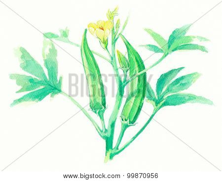 Ladyfinger or Okra on water color painting