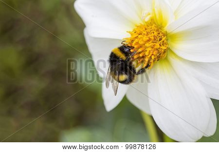 White Flower and Bee