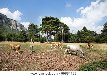 Cows And Calves In Mountain Landscape