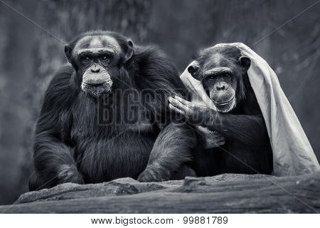 Chimpanzee Pair