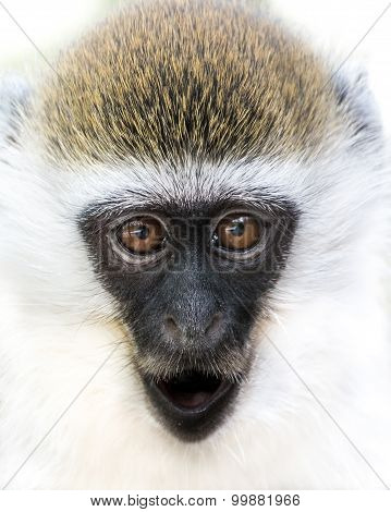 Baby Grivet Monkey