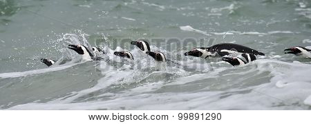Swimming African Penguins