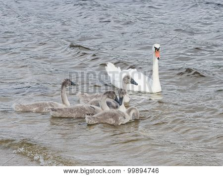Mute swans and cygnets swim in the river, selective focus