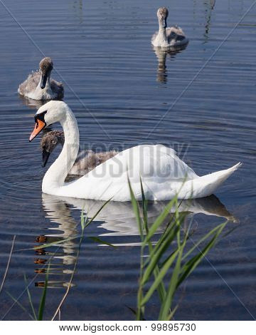 Mute swans and cygnets swim in the lake, selective focus