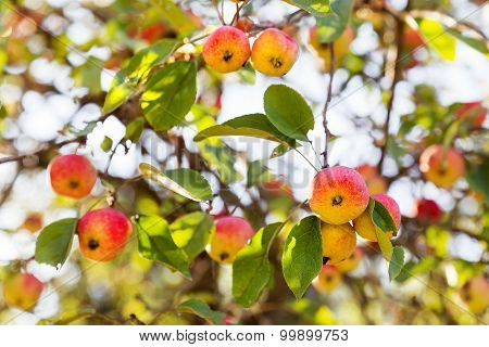 Red Apples On Apple Tree Branch. Early Autumn Harvest. Natural Rural Background With Fruit Tree In S