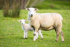 picture of baby sheep  - Mother sheep with a baby lamb - JPG