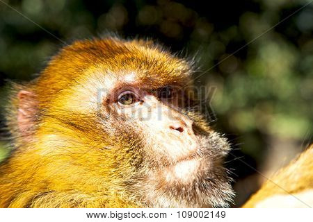 Bush Monkey  Africa Morocco  Fauna Close Up
