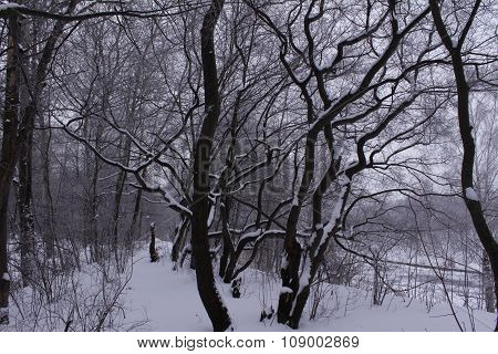 Winter Forest On The Riverbank
