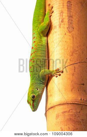 Madagascar Giant Day Gecko (phelsuma Grandis)