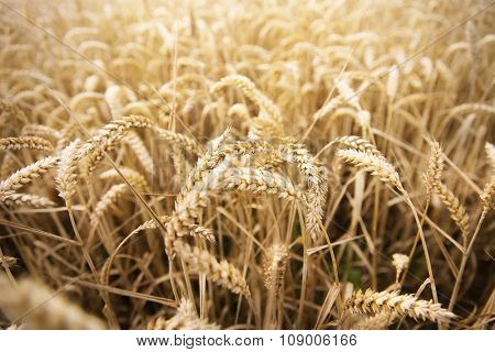 agriculture, farming, cereal , land cultivation and texture concept - field of ripening wheat ears or rye spikes