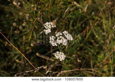 Flowers Of An Achillea In A Field