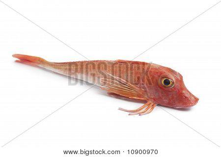 Whole single fresh red Tub gurnard fish