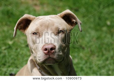 Young pit bull pup
