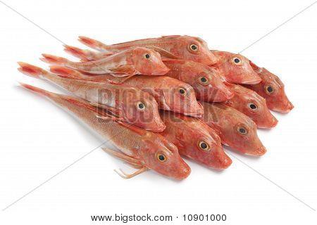 Pile of fresh red Tub gurnard fishes