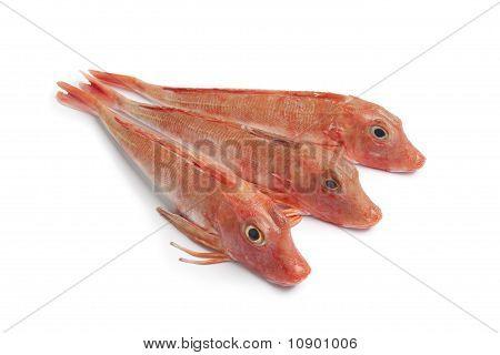Fresh red Tub gurnard fishes