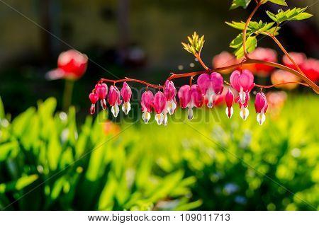 Flash Flowers In Home Garden, Otaru, Hikkaido, Japan.