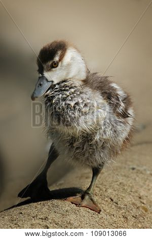 Young Clumsy Duckling Closeup