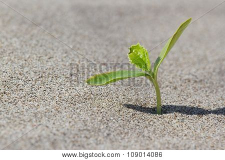 Plant sprouting in the desert . Sprout in the desert.