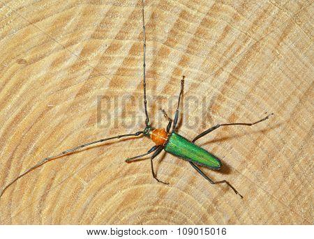 Beetle (chloridolum Sieversi)
