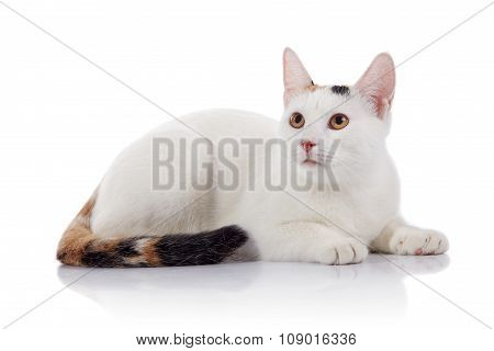 White Domestic Cat With A Multi-colored Striped Tail Lies