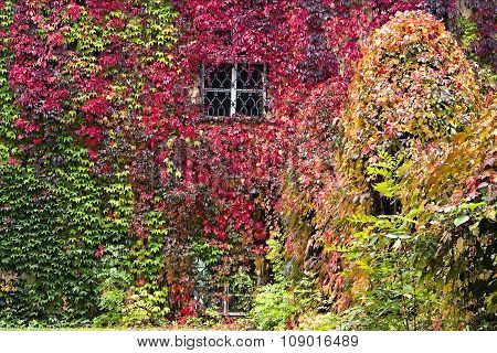 Autumn Background, Parthenocissus Quinquefolia