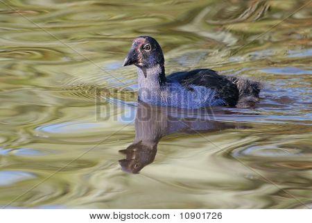 Pukeko chick swimming