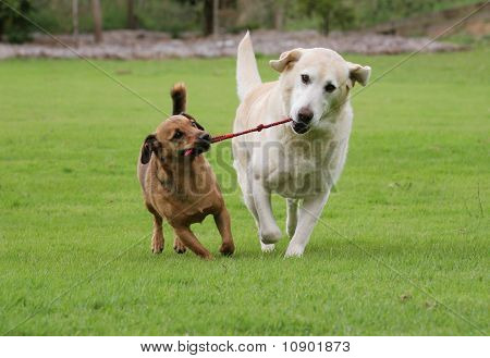 Two dogs pulling on a rope toy