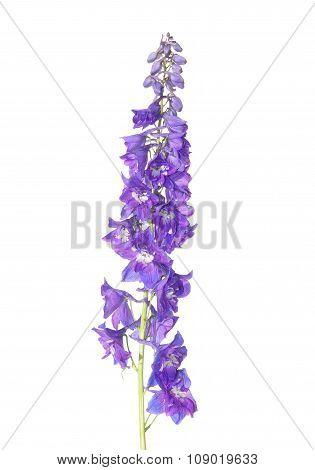 Delphinium Flower