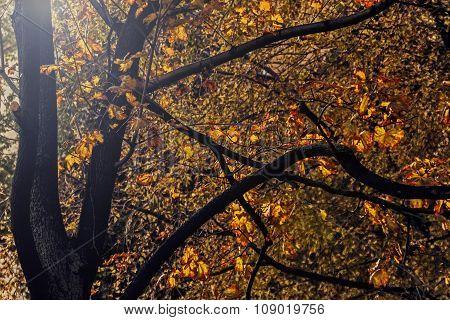 Autumn Leaves On Trees In Sun
