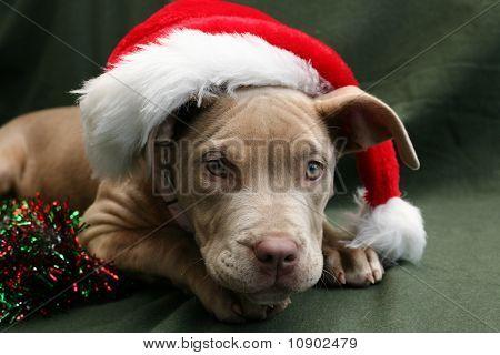 Pitbull pup wearing a Santa hat
