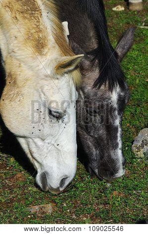 Closeup On Horse's Heads Grazing On Rare Grass