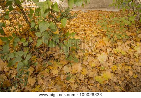 Yellow maple leaves cover ground: autumn park