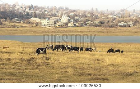 Cows graze on river bank in village