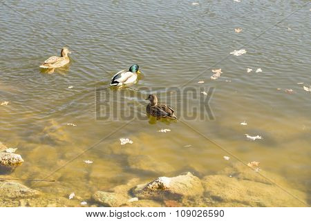 Ducks, autumn leaves on water, beautiful view