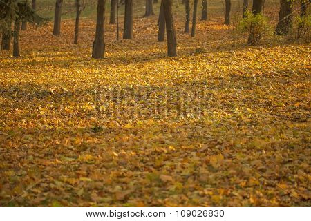 Yellow autumn leaves cover ground in woods