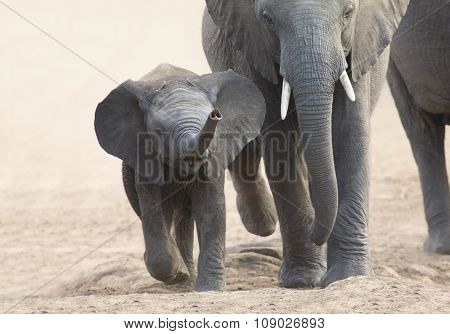 Elephant Calf And Mother Charge Towards Water Hole