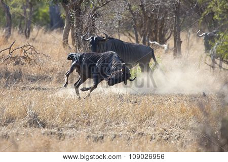 Two Blue Wildebeest Bulls Fight For Dominance Over The Herd
