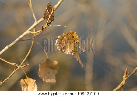 Dry autumn leaves on poplar tree branch, sunlit close-up