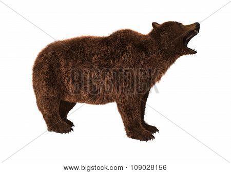 Brown Bear On White