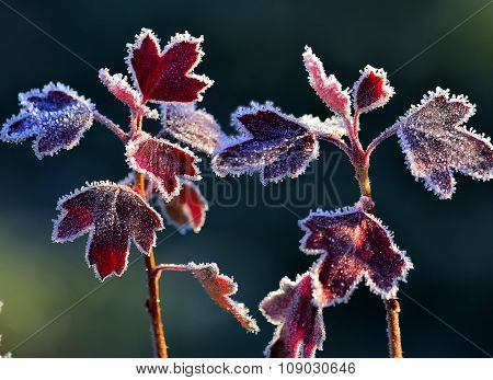 Hoarfrost On Red Leaves