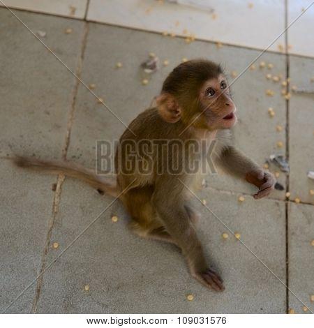 Monkey (macaque)