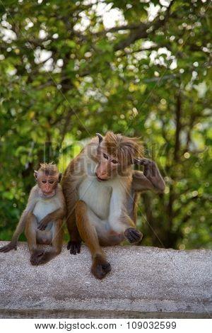 Monkey In Sri Lanka, Toque Macaque.