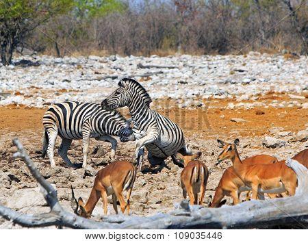 Zebras in combat