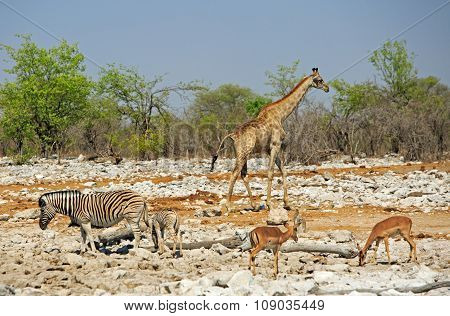 Giraffe Zebra and springbok at a waterhole in Etosha national park