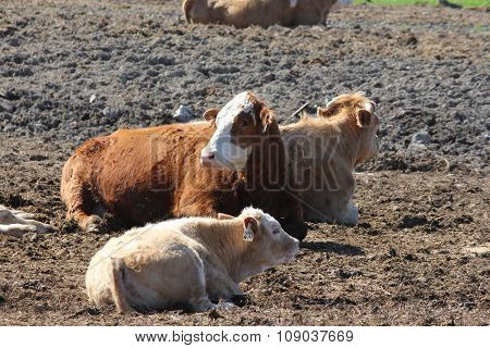 Cows in Small Holding Area