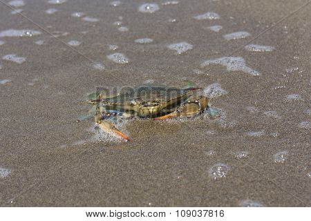 Blue Crab, Callinectes Sapidus In Sand Photo