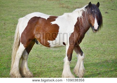 Irish Cob In The Pasture